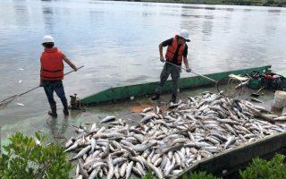 天热高温 淡水河数万乌仔鱼暴毙