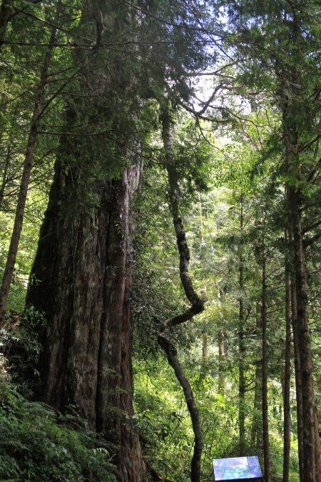 最年长的孔子神木约2560年。
