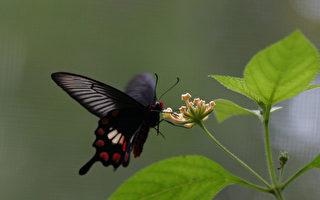 毛毛虫羽化成蝴蝶 动力来自一股天生的耐性!