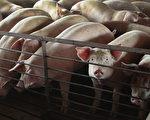 非洲猪瘟影响 大陆猪肉价一年来大涨46%