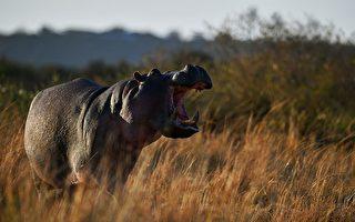 台游客被河马攻击 牵出中共在非洲掠夺隐情