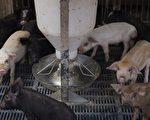 大陆目前非洲猪瘟(ASF)从北方传染到了南方,给养殖户带来很大损失。不过检疫中心的知情人透露,相对于非洲猪瘟,炭疽病对人体的伤害更为严重。(NICOLAS ASFOURI/AFP/Getty Images)