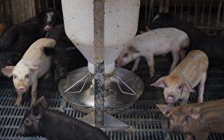大陸目前非洲豬瘟(ASF)從北方傳染到了南方,給養殖戶帶來很大損失。不過檢疫中心的知情人透露,相對於非洲豬瘟,炭疽病對人體的傷害更為嚴重。(NICOLAS ASFOURI/AFP/Getty Images)