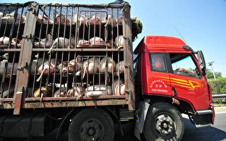 中国非洲猪瘟爆发 源头被指进口俄罗斯猪肉