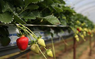 退休校长种草莓 完全不用化肥 却收获满满