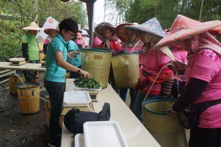 工作人员从每位选手摘采的茶菁中取样100公克,再进行品质评审。
