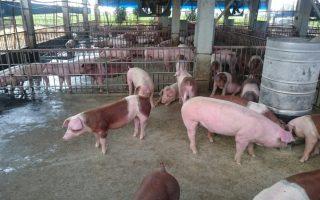 防范非洲猪瘟入侵 嘉县全面启动防堵措施