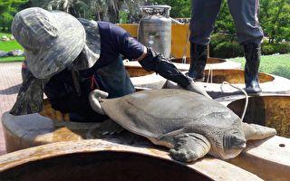 保育動物遭棄養  豐樂公園清淤發現「鼋」