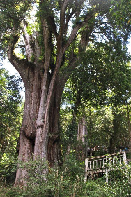 司马迁神木最胖4.1公尺。