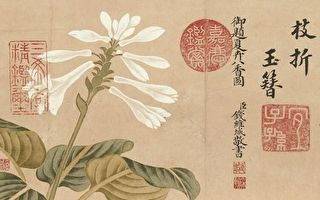 【文史】风雅美丽 立秋赏玉簪花
