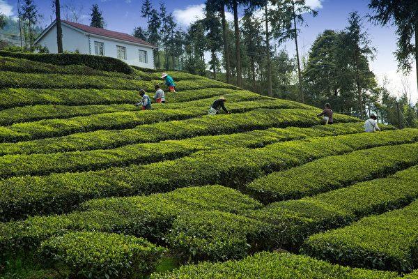 在南投海拔约一千公尺的山上,和夫家的姐妹购置一甲的荒废茶园。示意图。(pixabay)