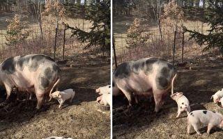 吃飯時間不吃飯 小豬崽:媽媽尾巴比較好吃