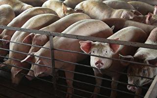 非洲猪瘟蔓延13省 中国新年前肉价再上涨