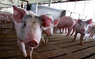 非洲豬瘟蔓延8省 吉林首爆疫情