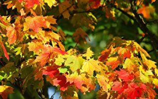 安省枫叶开始红了 10月赏枫