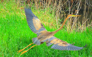 罕见! 西伯利亚紫鹭飞来台湾过冬