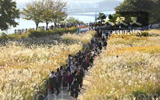 组图:秋季美景 首尔天空公园紫芒盛开