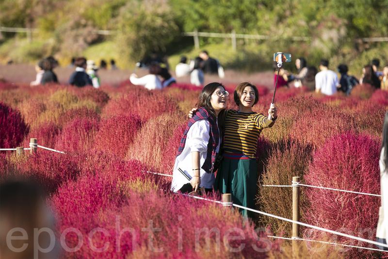 韓國首爾藍天公園 浪漫粉紅花海