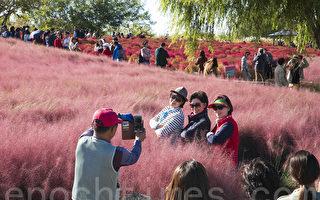 组图:韩国首尔蓝天公园 浪漫粉红花海