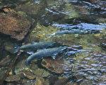 卑诗省北温哥华卡皮兰诺河中的三文鱼。(童宇/大纪元)