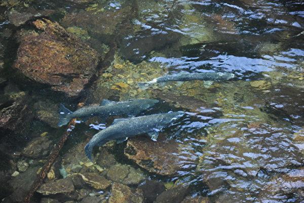 卑詩省北溫哥華卡皮蘭諾河中的三文魚。(童宇/大紀元)