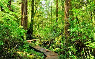 加拿大树林地面上下起伏 看似地球在喘息