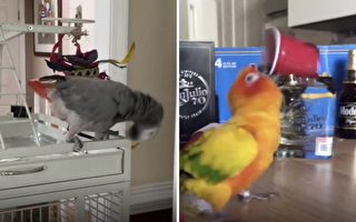 奇觀!鸚鵡不只會學語 還會這麼多「特技」