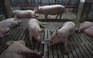 非洲猪瘟继续蔓延 中共官员承认疫情难控