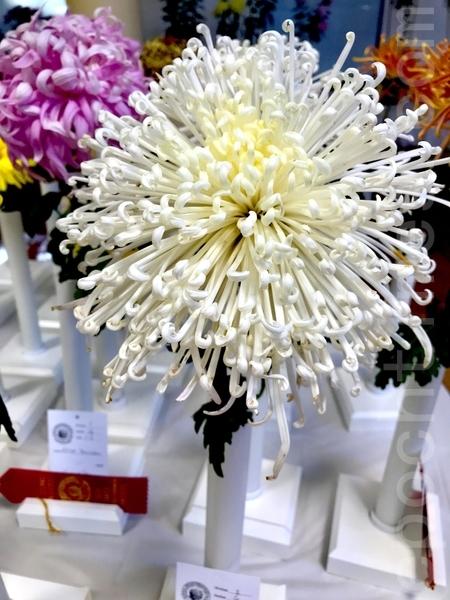 第六屆舊金山灣區菊花展硅谷開幕 「花之君子」惹人愛