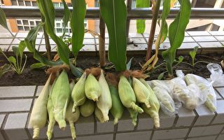 教室小农蔬果自产自销 义卖所得助弱势