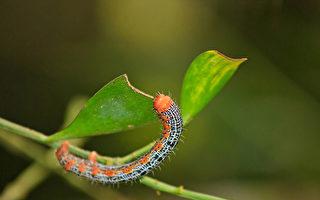 這種毛毛蟲會偽裝成蛇嚇阻敵人 像真的一樣