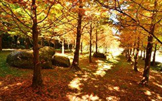 杉林溪楓紅層層 黃金水杉 妝點大地唯美浪漫