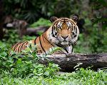 閱微草堂筆記:老虎吃人也有所選擇