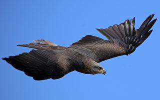 乌鸦成群侵扰 日本松山市放鹰驱赶
