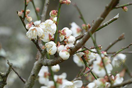 """赏梅是""""2018南投花卉嘉年华""""的主要活动之一。"""
