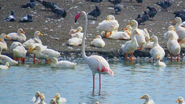【視頻】罕見! 大紅鶴覓食好像在跳一首舞曲