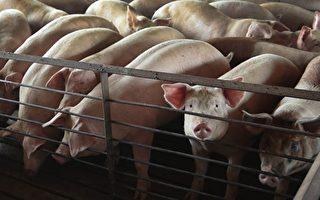 韩国现首例非洲猪瘟 台重罚违规带肉入境者
