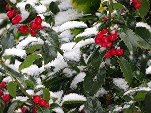 冬至雪中冬青香 天上人间仙侣隐