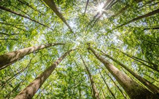 日本進行半世紀的造林試驗 種出「麥田圈」