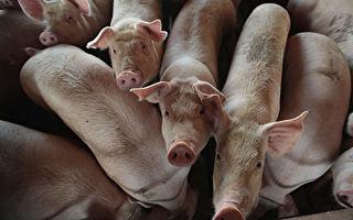 台若爆發非洲豬瘟 台糖:損失超過口蹄疫
