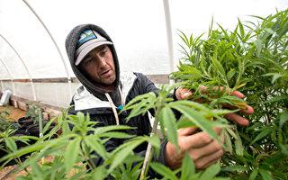 美国绿卡居民因从事大麻工作被拒入籍