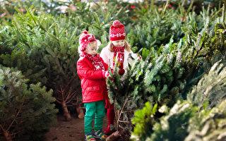 在多倫多 到哪里買新伐聖誕樹?