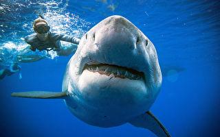 長20英尺 潛水員在夏威夷再邂逅最大大白鯊
