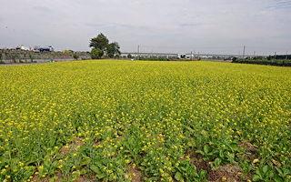 養田省肥  冬季休閒期間種植綠肥作物
