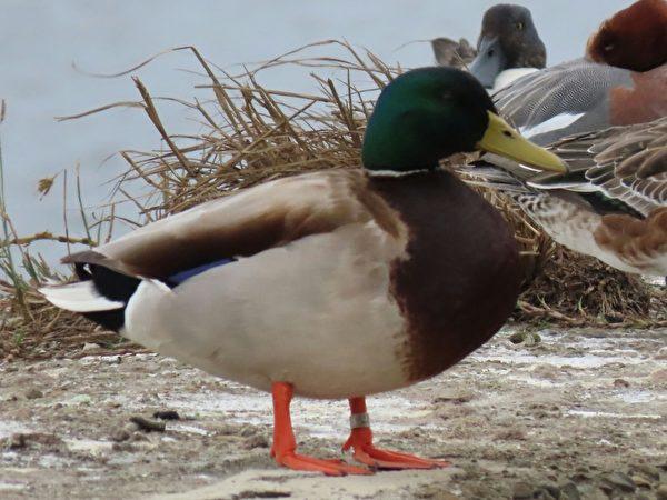 新年赏鸟 绿头鸭夫妻与黑面琵鹭萌样讨喜