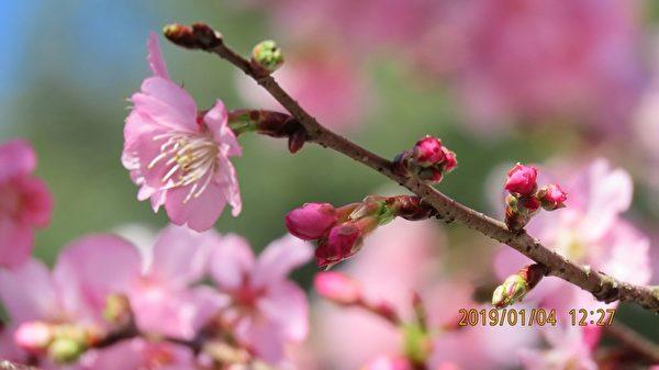 台灣阿里山河津櫻綻放 滿樹粉嫩花朵迎新年