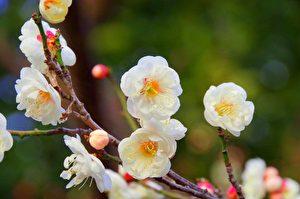 【文史】寻常人生 有了梅花便不同