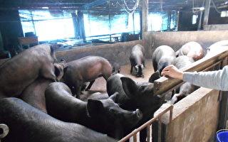 防非洲豬瘟  針對廚餘養豬場未檢核通過者罰