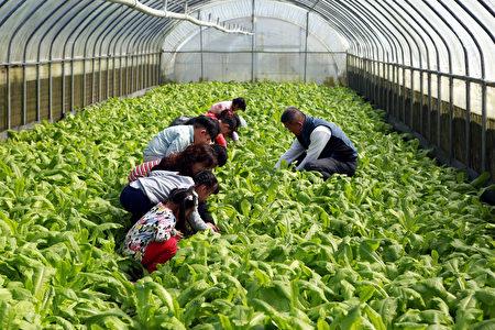 三星幼儿园的老师带小朋友到有机菜园进行食农教育。