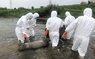 桃園蘆洲發現2隻病死豬 防疫人員不敢大意
